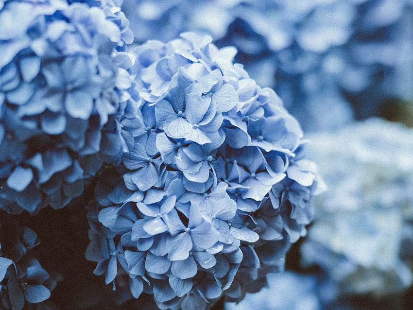 A close up shot of blue hydrangeas growing in a garden