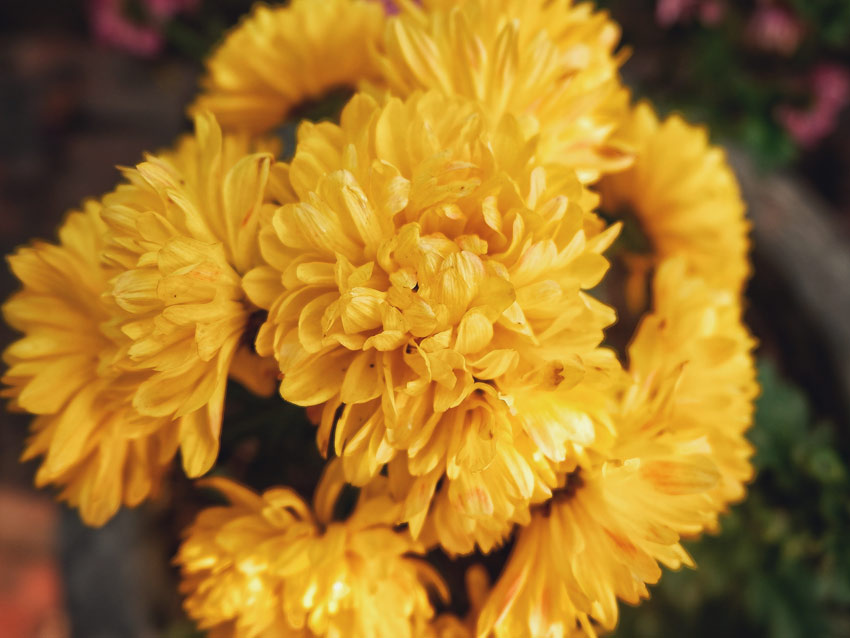 Bright yellow chrysanthemums growing in a garden