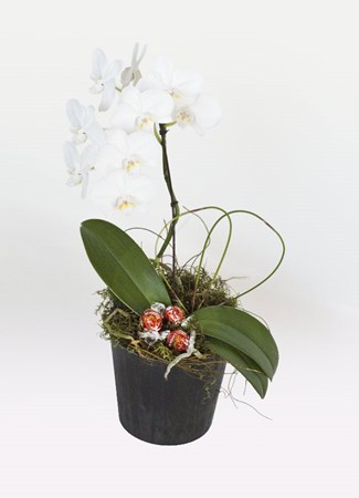 Arrangements: Orchid in White & Lindt Balls